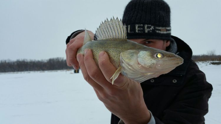 ice fishing walleye catch